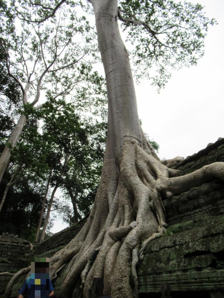 タ・プロームでいちばん有名な木