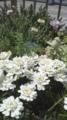ラナイのお花1