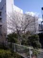 レオパレスハイムシード裏の桜
