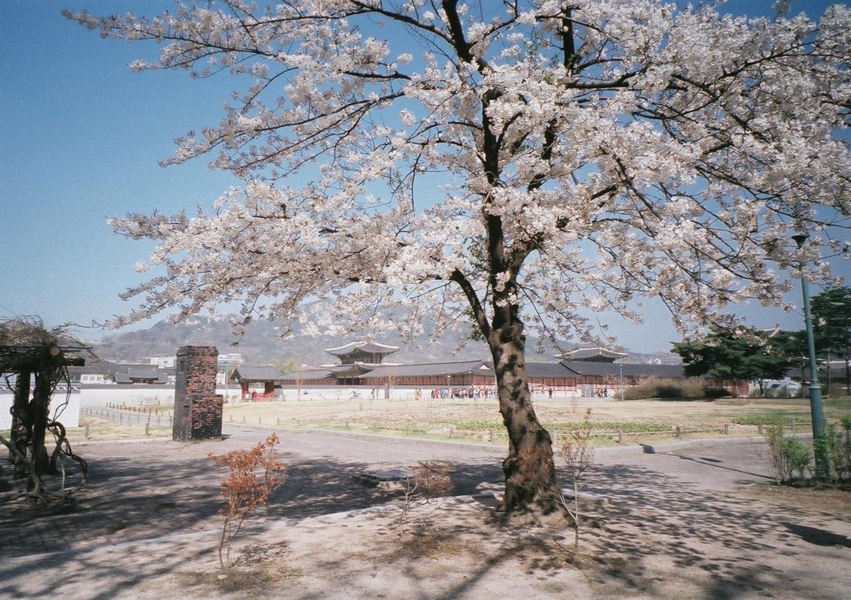 景福宮 桜