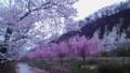 裾花支流沿いのしだれ桜(4/9 18:30頃フラッシュ無)