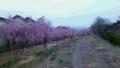 裾花川の散歩道沿いのしだれ桜(4/9 18:30頃フラッシュ無)