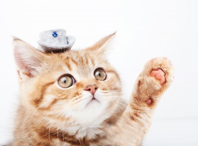 手を挙げるネコ photo by photo AC