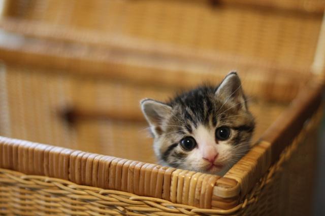 バスケットの子猫 Photo by photoAC