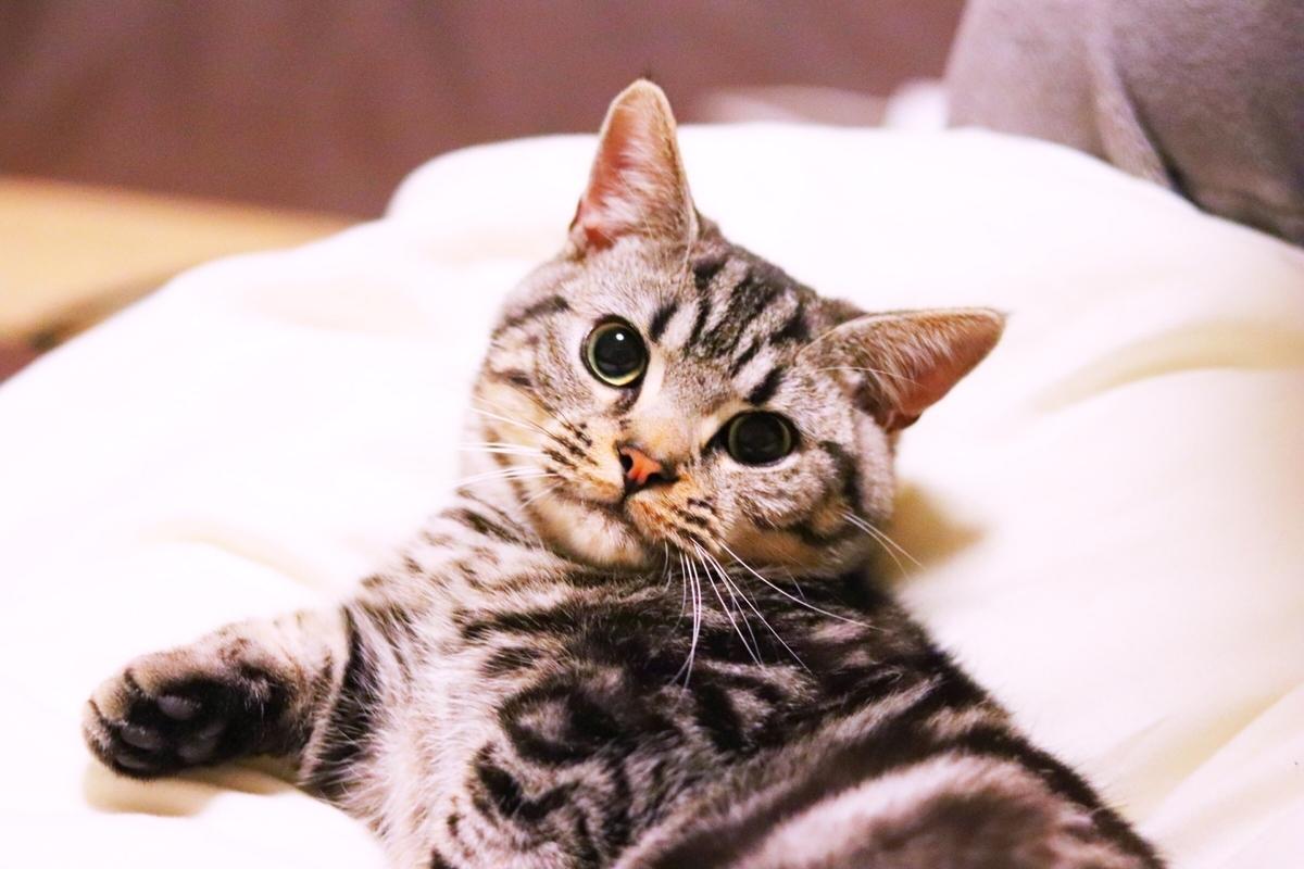 見つめる猫2 photo by photoAC