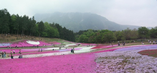 羊山公園の芝桜(2011/05/07撮影)