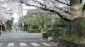 No.06 (国立市)一橋大学南側路上:東向き(2011/04/09撮影)