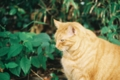 [猫][cat]江の島のでぶ猫