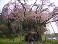 紅枝垂地蔵桜2