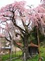 紅枝垂地蔵桜1