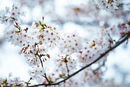 桜はなぜ美しいのか