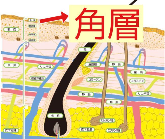 角層(角質)とは肌の最外層に位置し、肌のバリア機能を持つ