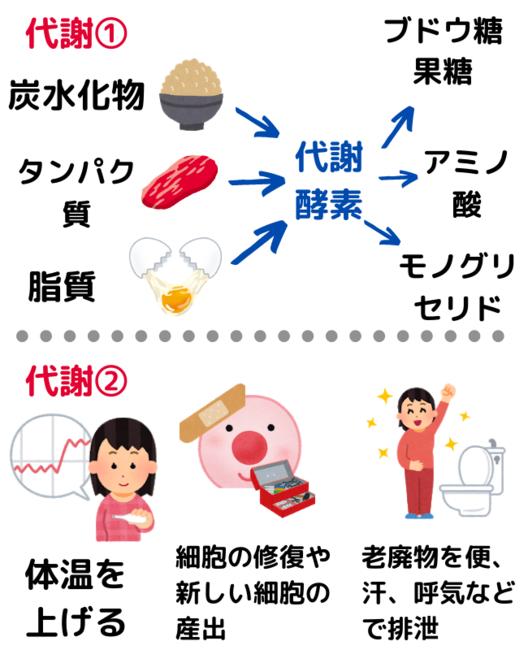 代謝の説明