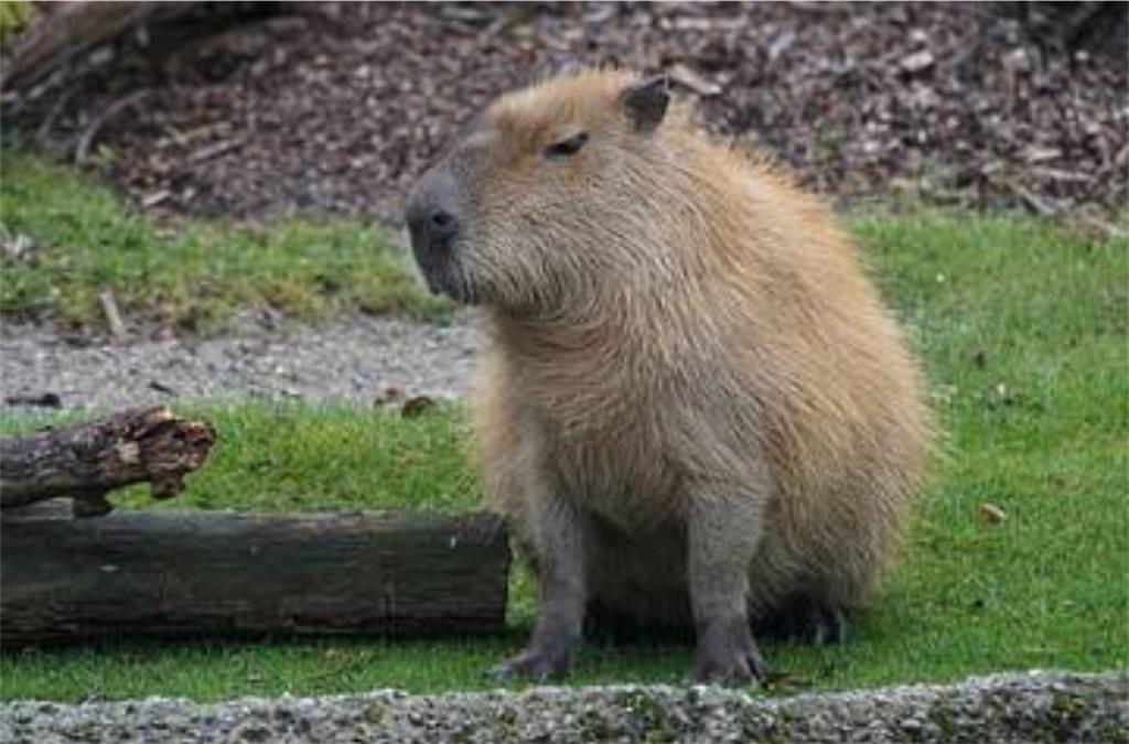 f:id:lovecapybara:20190216200630j:image