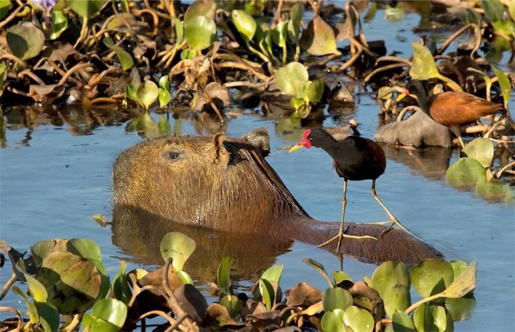 f:id:lovecapybara:20190225213556j:image