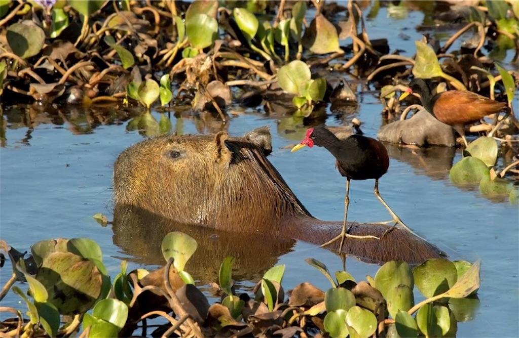 f:id:lovecapybara:20190419121430j:image