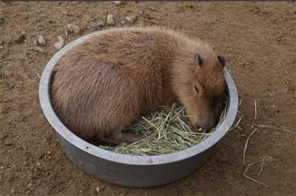 f:id:lovecapybara:20210206200314j:image