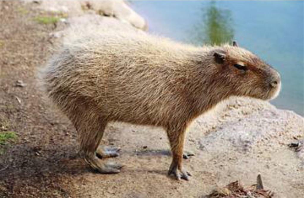 f:id:lovecapybara:20210812165620j:image