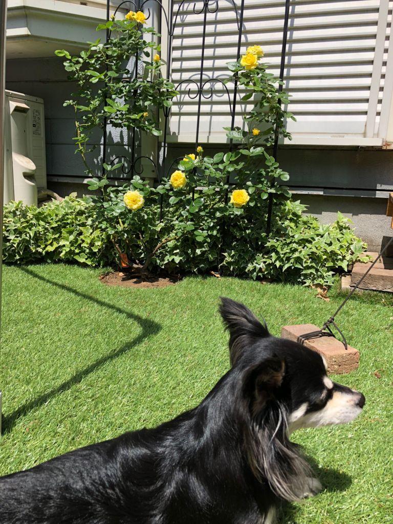 庭のドッグランとバラ