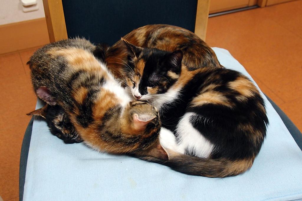 サビ猫と三毛猫の猫団子n