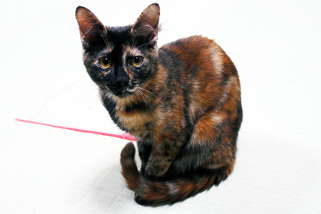 神戸で保護されたサビ猫の「ゆき」