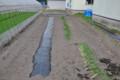 [農業]ちろっと葱も作ってます