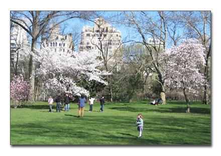 [Cherry blossom][NYC]