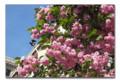 [Cherry blossom]