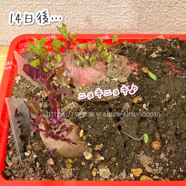 さつまいも 芽出し 簡単 初心者 家庭菜園 芽が出た
