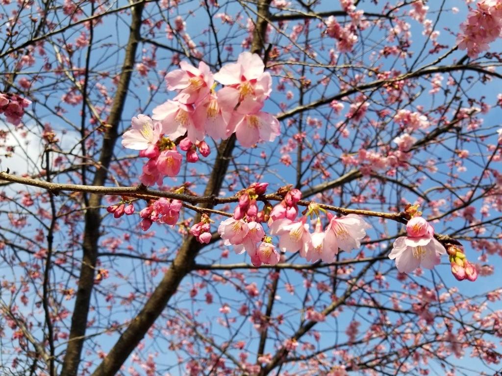 空のブルーと鮮やかな掛川桜