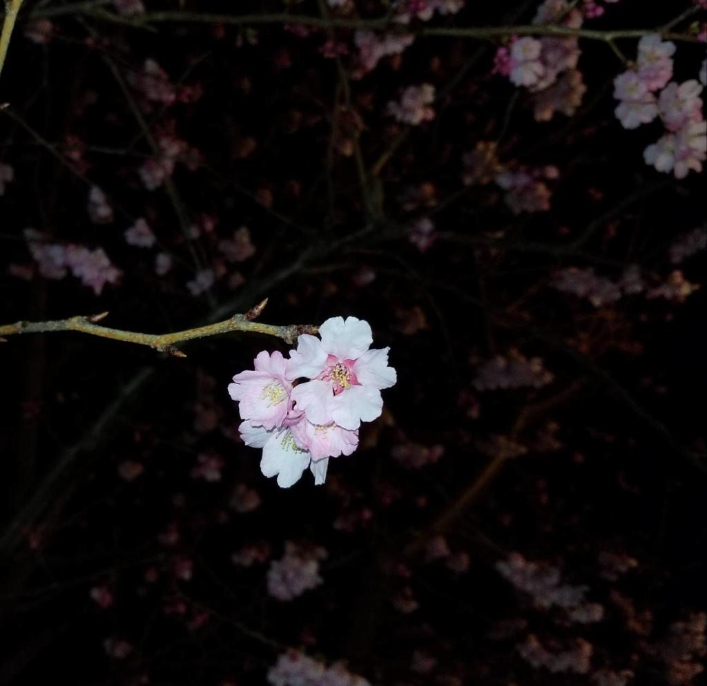 ライトアップと夜桜