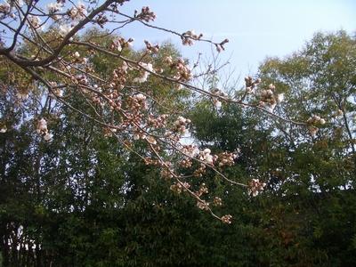 桜が咲きかけていました♪