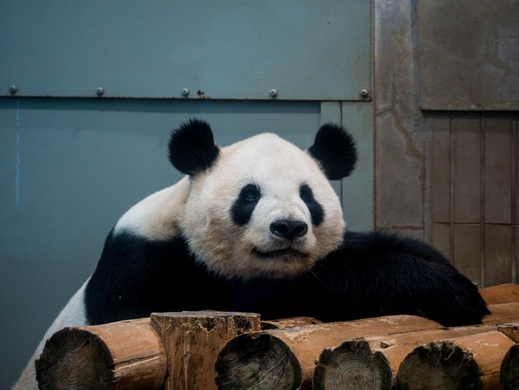 ホワイトバランスが合っていないパンダの写真