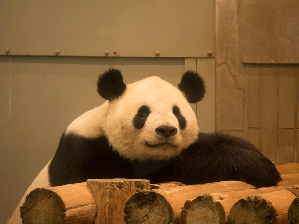 ホワイトバランスを合わせたパンダの写真