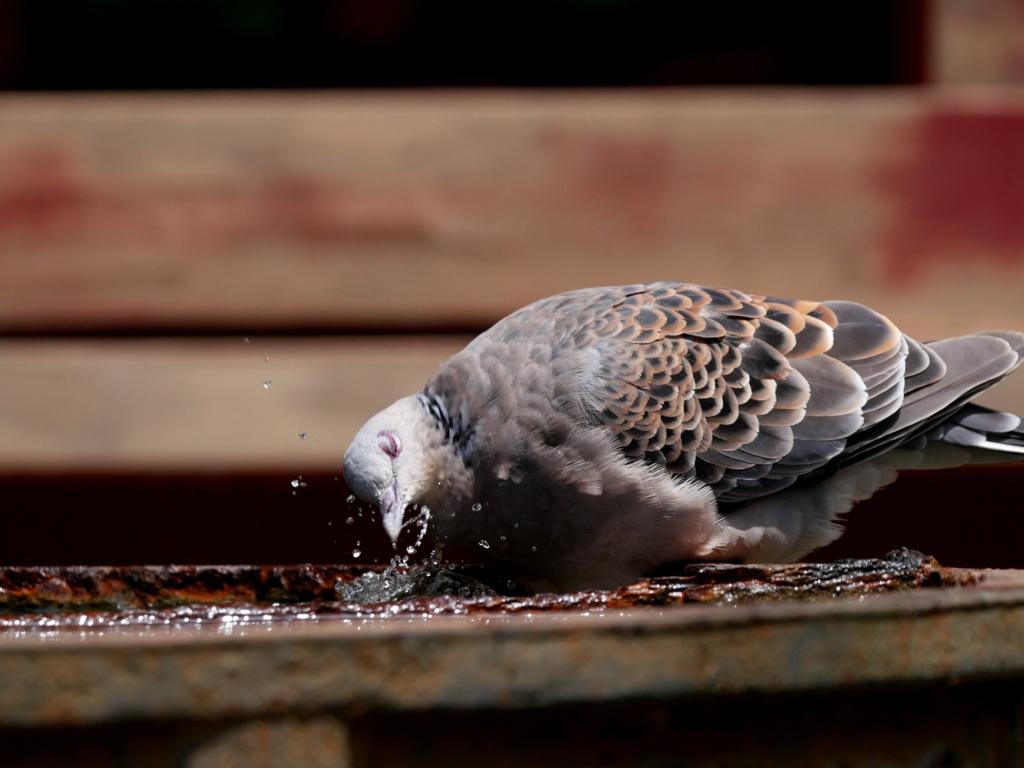 水を飲むキジバト