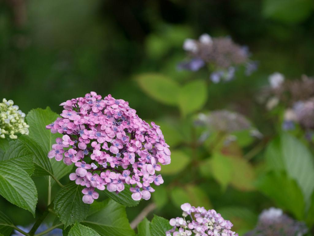 高尾山の渦紫陽花