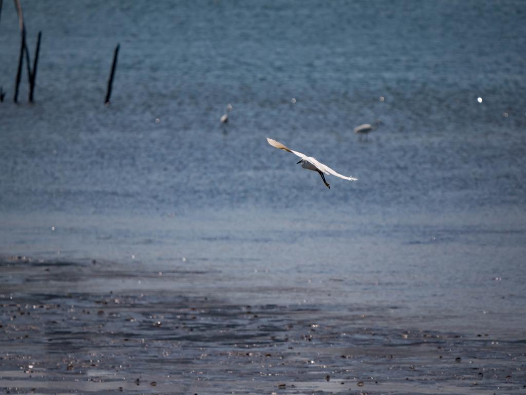 サギの飛翔