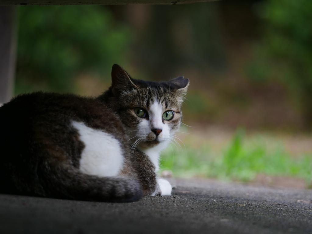エメラルドグリーンの瞳の猫