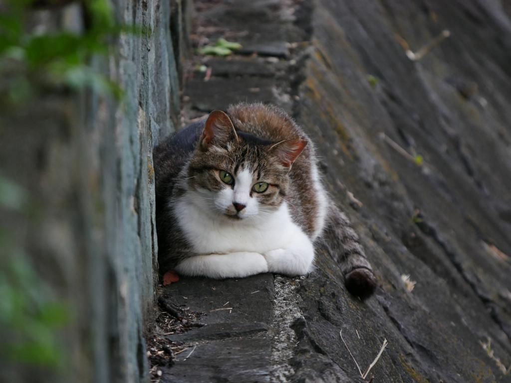 正面顔の猫