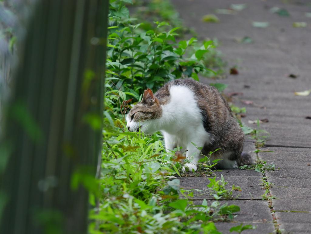 雑草を食べる猫