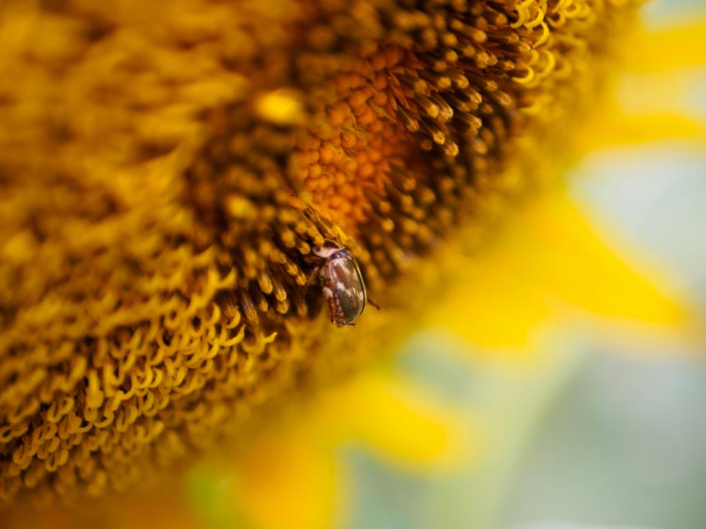 向日葵に潜り込む虫
