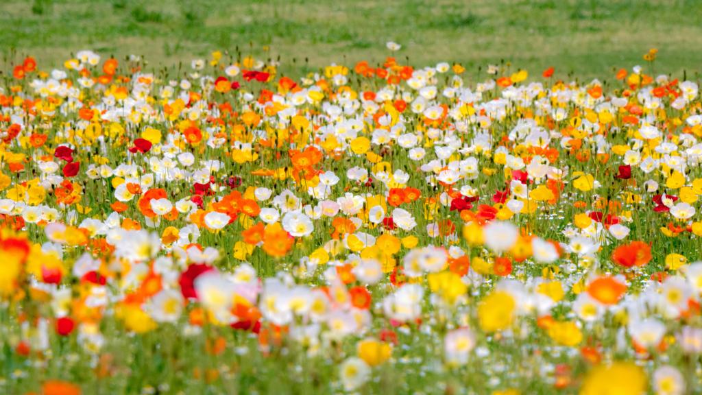 花畑の圧縮効果を活かした撮影