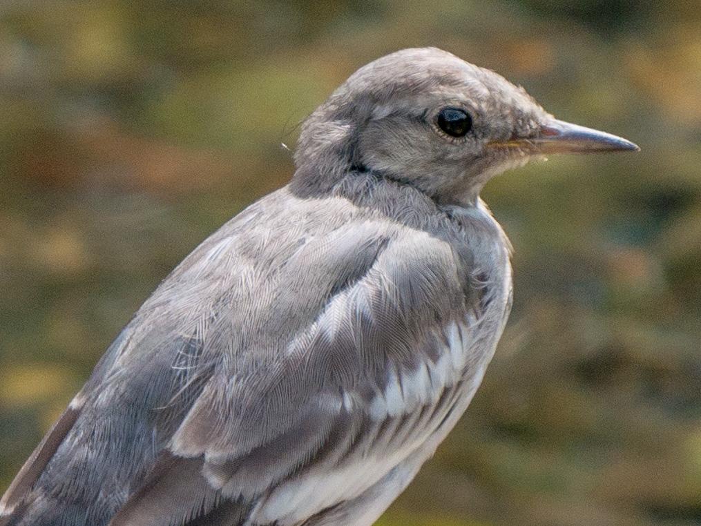ハクセキレイの細かい羽毛