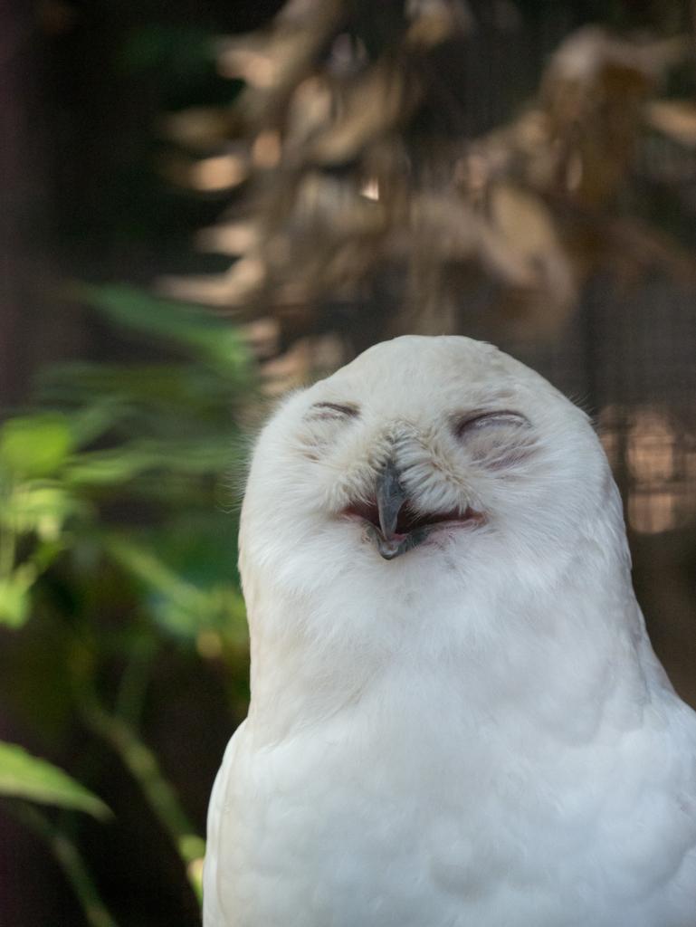 満面の笑みのシロフクロウ