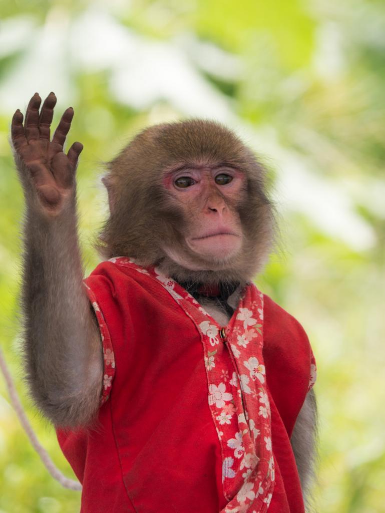 片手を上げる猿回しの猿