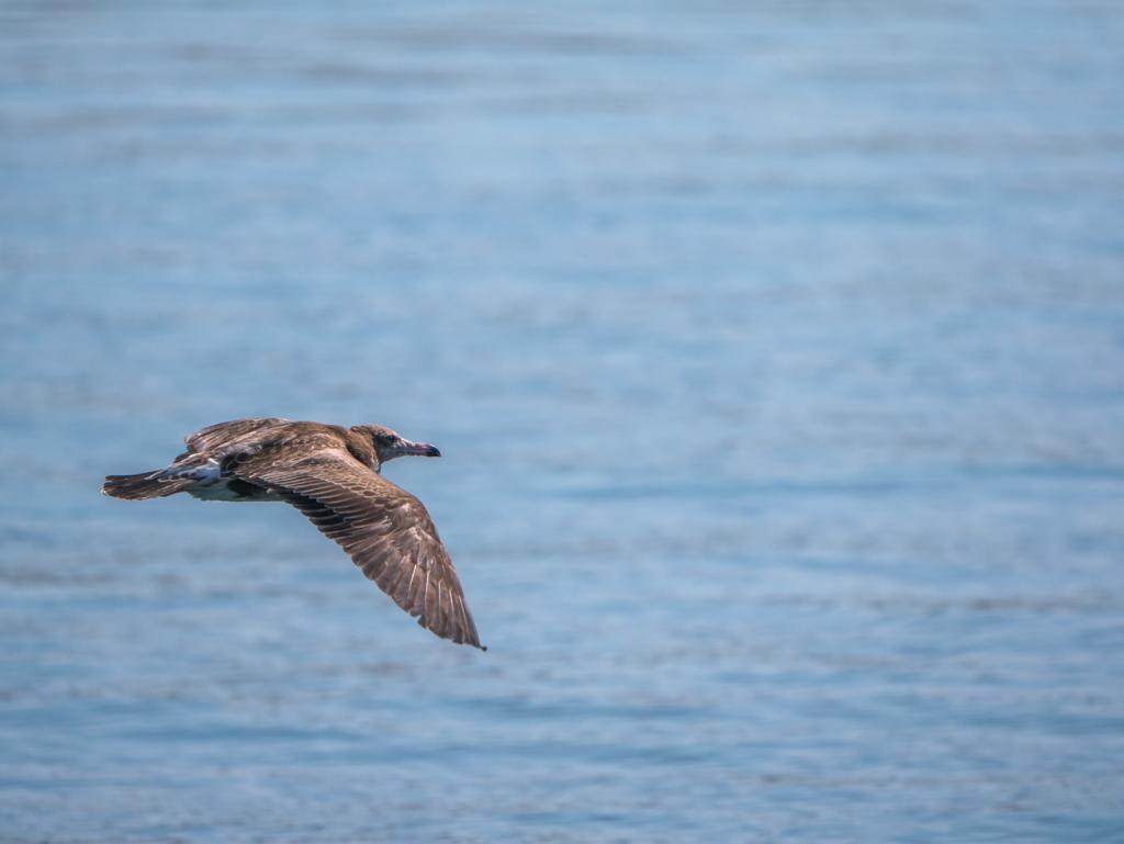 海の上を滑空するウミネコ