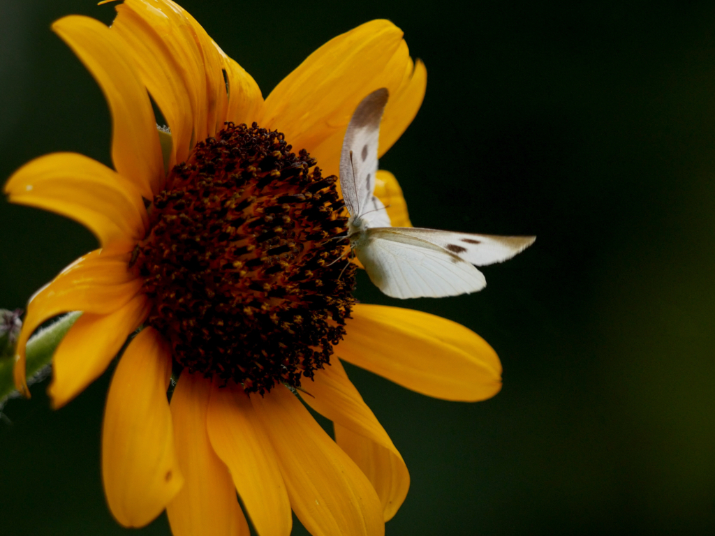 ひまわりの蜜を吸うモンシロチョウ