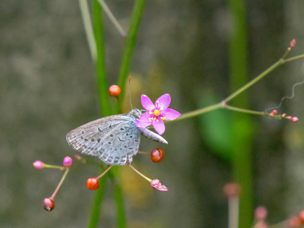 花の蜜を吸うヤマトシジミ