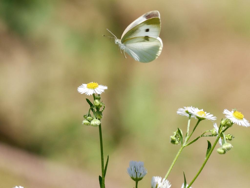 モンシロチョウの飛翔