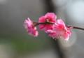 [梅の花][梅林公園]